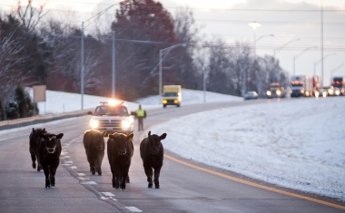 A group of calves run down I-64 West while being chased by a Franklin County Fire Department vehicle. Several cows escaped onto the highway after a cattle truck ran off the road. © Bobby Ellis
