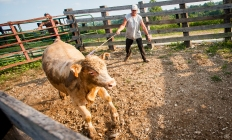 082014_CowHerding01_be